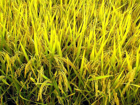 golden rice grains