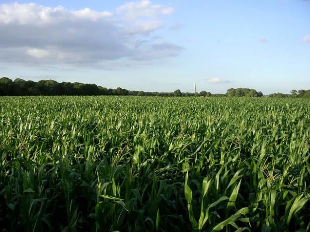 Corn crop west of Lepe Farm, Lepe (Jim Champion) / CC BY-SA 2.0