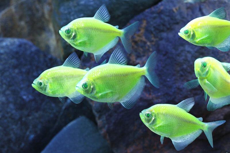 GloFish (Courtesy www.glofish.com)