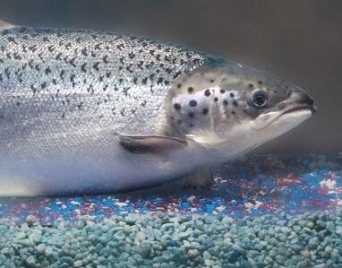 Transgenic Salmon