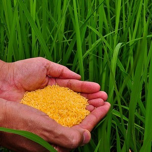 Golden Rice grain in screenhouse of Golden Rice plants. (Credit: Flickr/IRRI Images.)