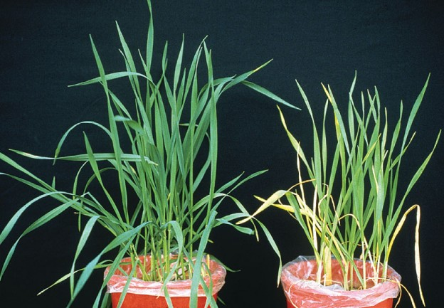 Nitrogen-deficient wheat plants (right) showing growth depression and yellowing due to chlorosis. Control plants on left. (Credit: Credit: Flickr/CIMMYT)