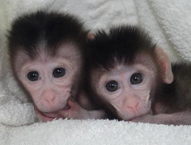 Sister macaques Ningning and Mingming are the first primate GMOs whose genomes have been monkeyed with using CRISPR/Cas9 technology. (CREDIT: Credit: Cell, Niu et al.)