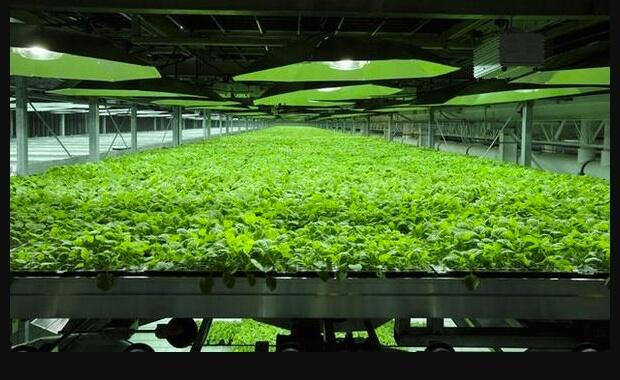 Genetically engineered tobacco plants produce an experimental Ebola serum (Credit: CS Prakash via Twitter)