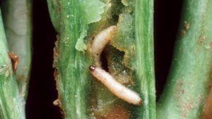 Flea-beetle-larvae-615x346