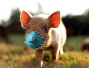 pig-with-mask-300x231