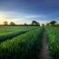 cornfield-industrial-agriculture.jpg.crop_display
