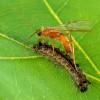 822px-Aleiodes_indiscretus_wasp_parasitizing_gypsy_moth_caterpillar