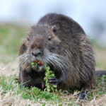 The nutria an invasive rodent in Louisiana
