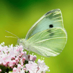 Cabbage White Butterfly. Photo by Richard Bartz