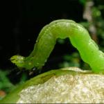 Looper caterpillar. Photo by John Tann/Flickr