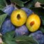 GMO plums engineered to resist plum pox. Photo by USDA-ARS