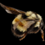 Rusty patched bumble bee. Photo by USGS/Flickr