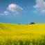 A rapeseed field in Cotswold, UK. Photo by Eric Hossinger