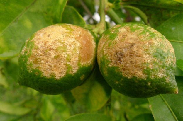 citrus_greening