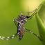 The Aedes aegypti mosquito is known to spread diseases such as dengue fever, yellow fever, and Zika.