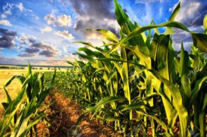 18655250-corn-field-and-sky-with-beautiful-clouds-stock-photo-biomass